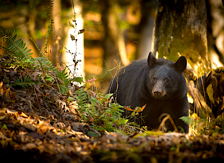 appalachian bear great smoky mountains np
